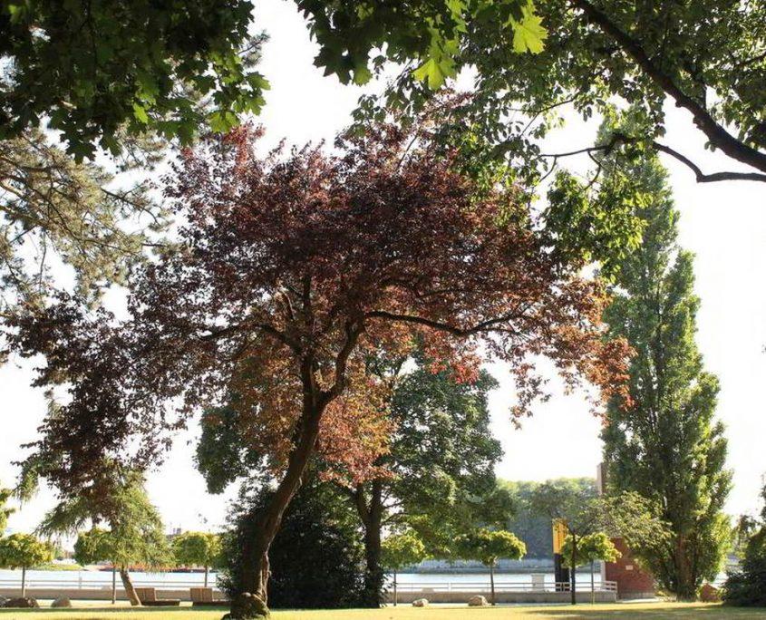 Blutbuche im Stadtgarten Vegesack